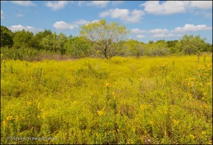 field-of-broomweed-and-goldenrod-flowering-4177